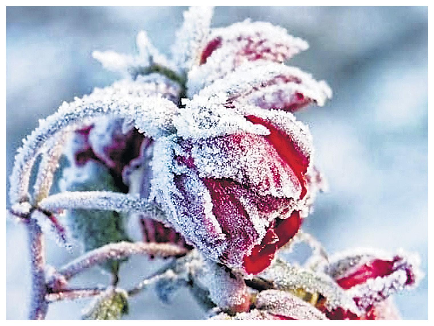 माउंट आबू में फूल पर जमी बर्फ।
