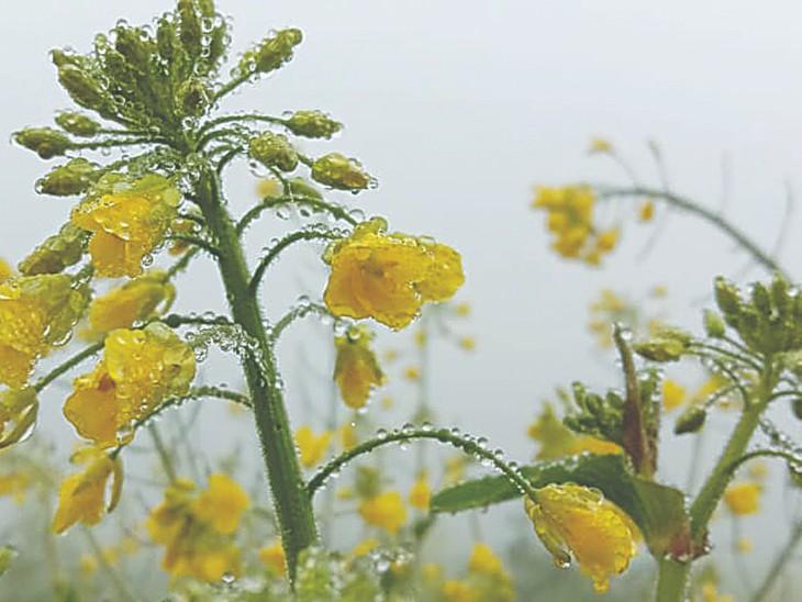 हिसार में सुबह छाई धुंध के दौरान सरसों की फसल पर जमीं ओस की बूंदें।