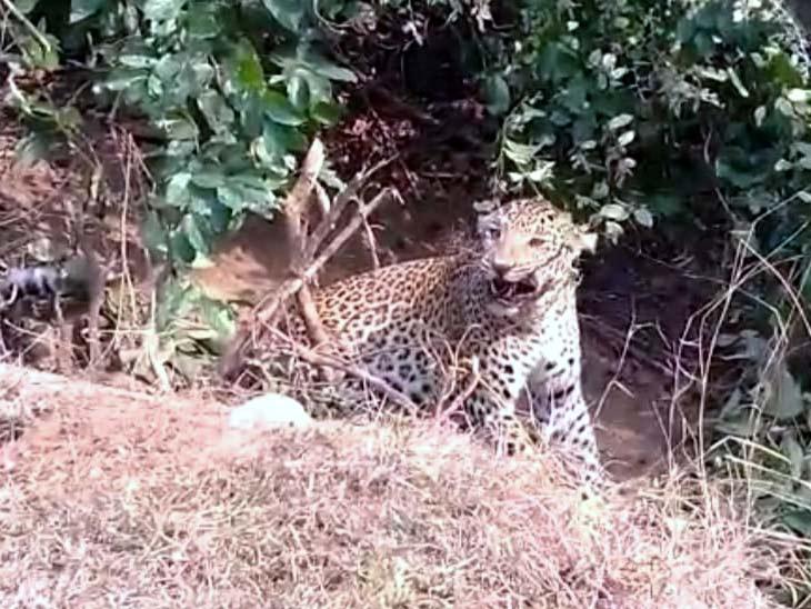 वनविभाग की योजना थी कि पिंजड़े में पकड़ तेंदुआ को किसी सुरक्षित स्थान पर छोड़ दिया जाएगा।