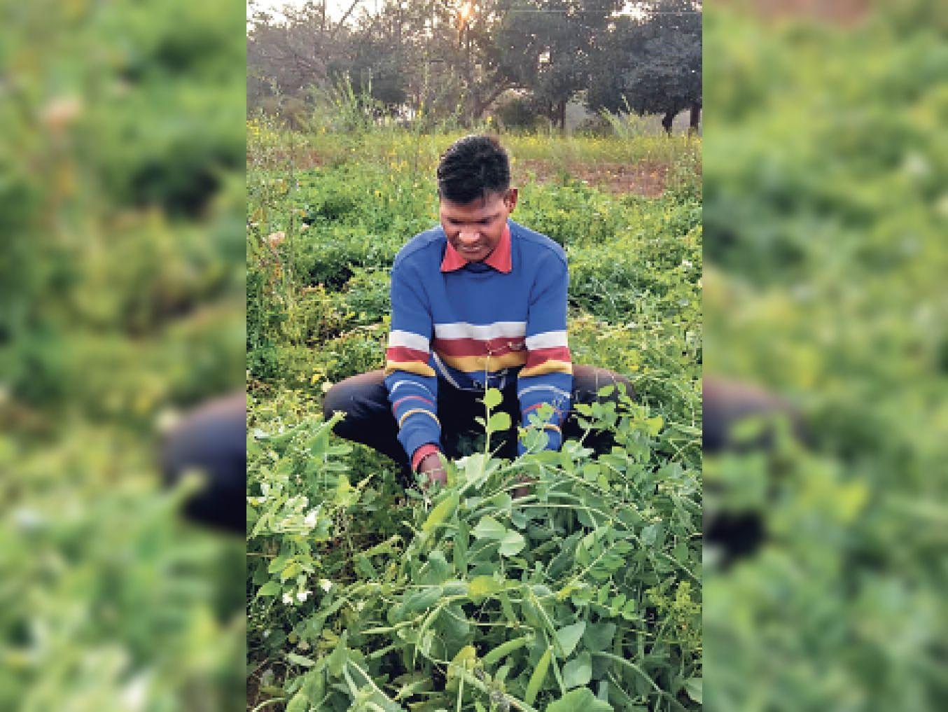 टोटाम्बी में अपने खेत में फ्रेंचबिन तोड़ता सूरज उरांव
