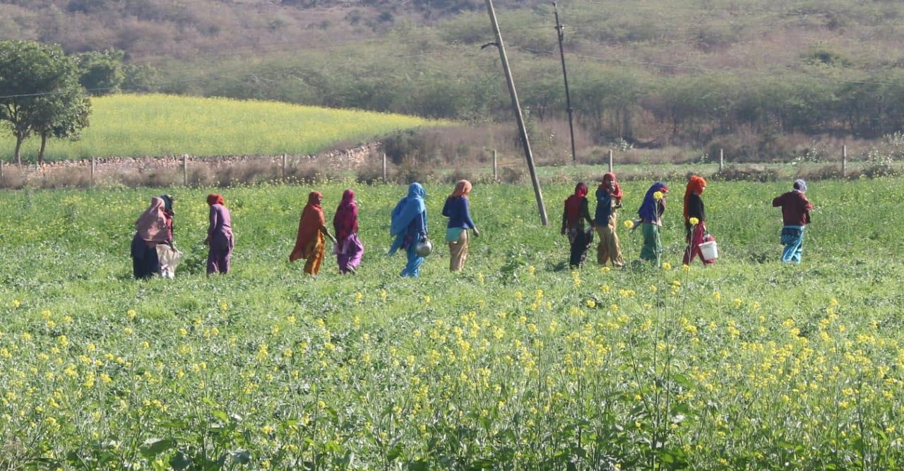 मकर संक्रांति के अवसर पर खेत में सरसों की फसल, पीले फूल भी सूर्य पर चढ़ाए जाते हैं