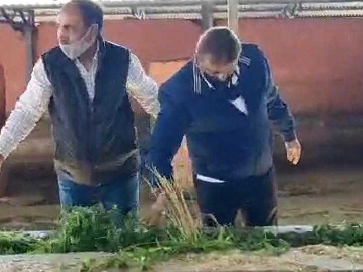 कोटा दक्षिण महापौर ने भी गायों को चारा खिलाया