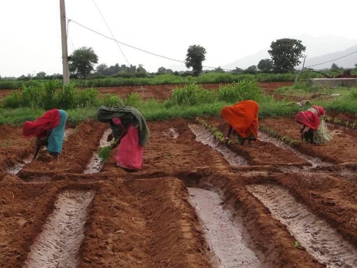 सौंफ की पारंपरिक खेती में क्यारियों के बीच गैप 2-3 फीट होता था, जिसे इशाक ने 7 फीट कर दिया। ऐसा करने से उत्पादन दोगुना हो गया।