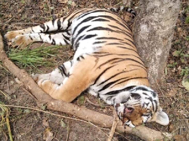 कान्हा नेशनल पार्क के बफर जोन में बाघिन के गले में वायर का फंदा फंसाकर शिकार किया गया। - Dainik Bhaskar