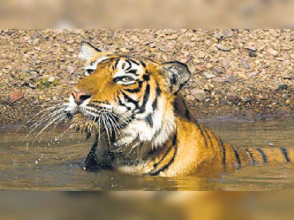 टाइगर टी-104 को वन विभाग ने 3 लोगों की मौत के लिए जिम्मेदार माना है। - Dainik Bhaskar