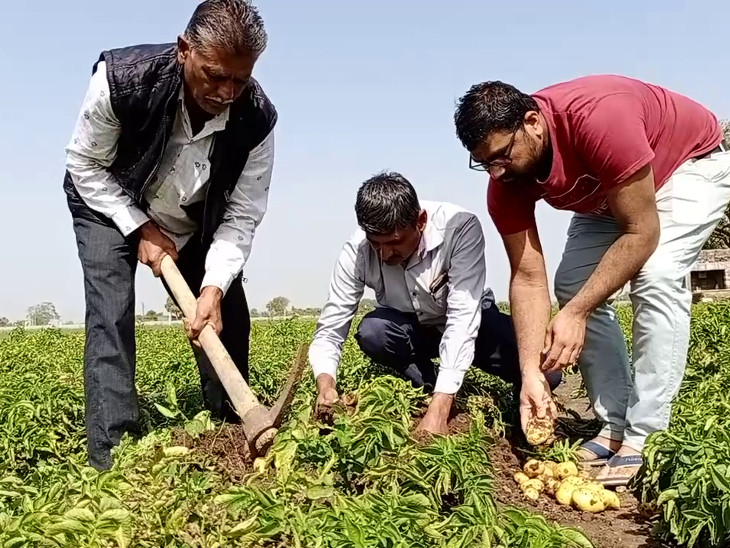 Tulsi Gondalia has produced 12 tonnes of potatoes on a bigha land.  The special thing is that these potatoes are completely organic.