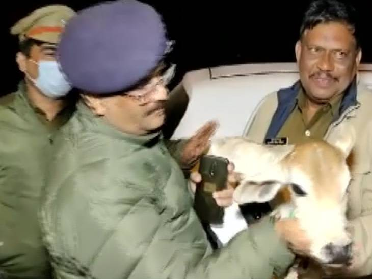Calf recovered from miscreants' car.