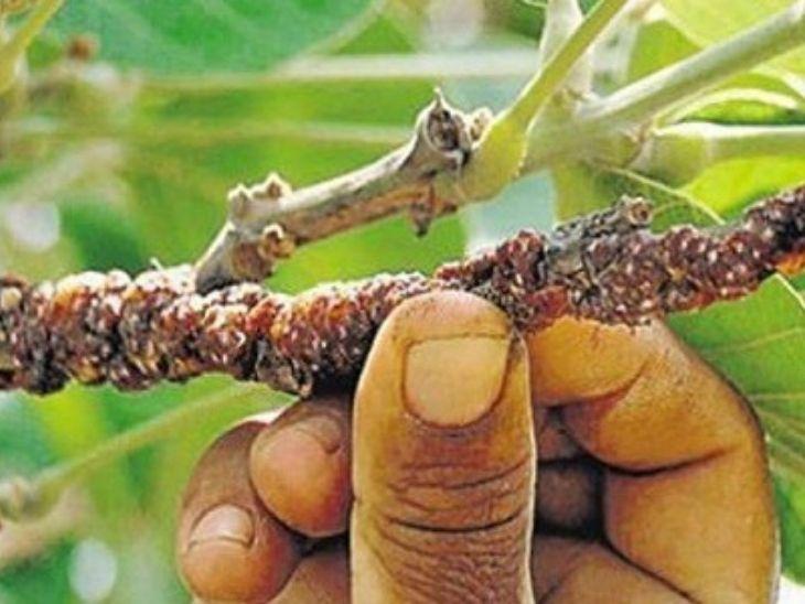 झारखंड में 12 जिलों के 5 लाख किसान करतें है लाह की खेती; सीएम ने कृषि का दर्जा देने की घोषणा की, MSP भी तय होगी|रांची,Ranchi - Dainik Bhaskar