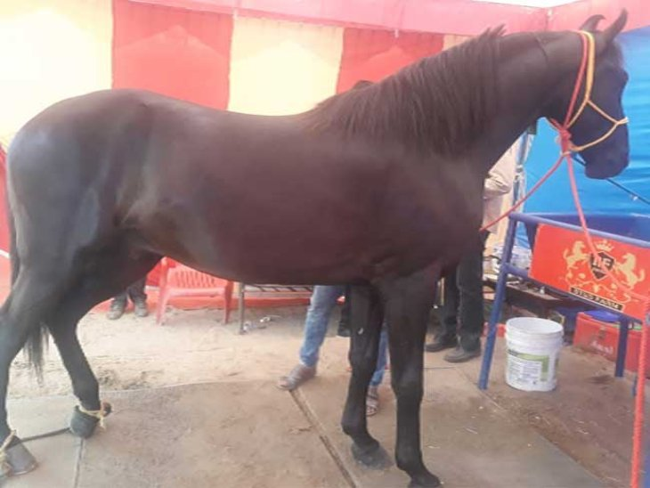 Paramveer is of the Marwari breed and is black in color.