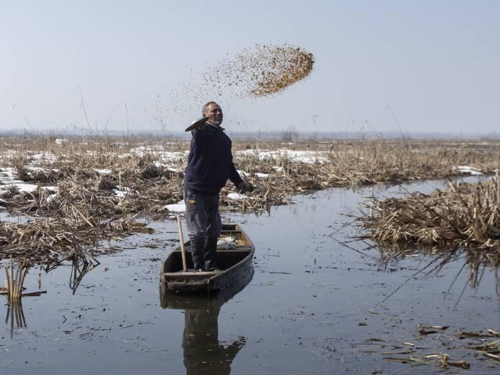 पक्षियों के भोजन के लिए वन विभाग के अधिकारी वेटलैंड में चारों तरफ धान फैला देते हैं। फोटो-आबिद भट