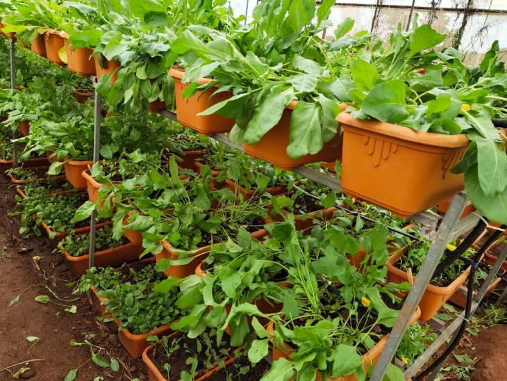 ज्ञानेश्वर अभी अपने पॉलीहाउस में एक दर्जन से ज्यादा फल और सब्जियां उगा रहे हैं। इनमें ज्यादातर सब्जियां पत्तियों वाली हैं।