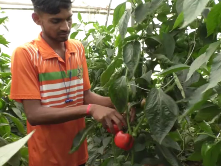 पारंपरिक तरीका छोड़ सरकारी सब्सिडी की मदद से नीदरलैंड की कलर्ड शिमला मिर्च की खेती शुरू की, अब हर साल 5 लाख की कमाई DB ओरिजिनल,DB Original - Dainik Bhaskar