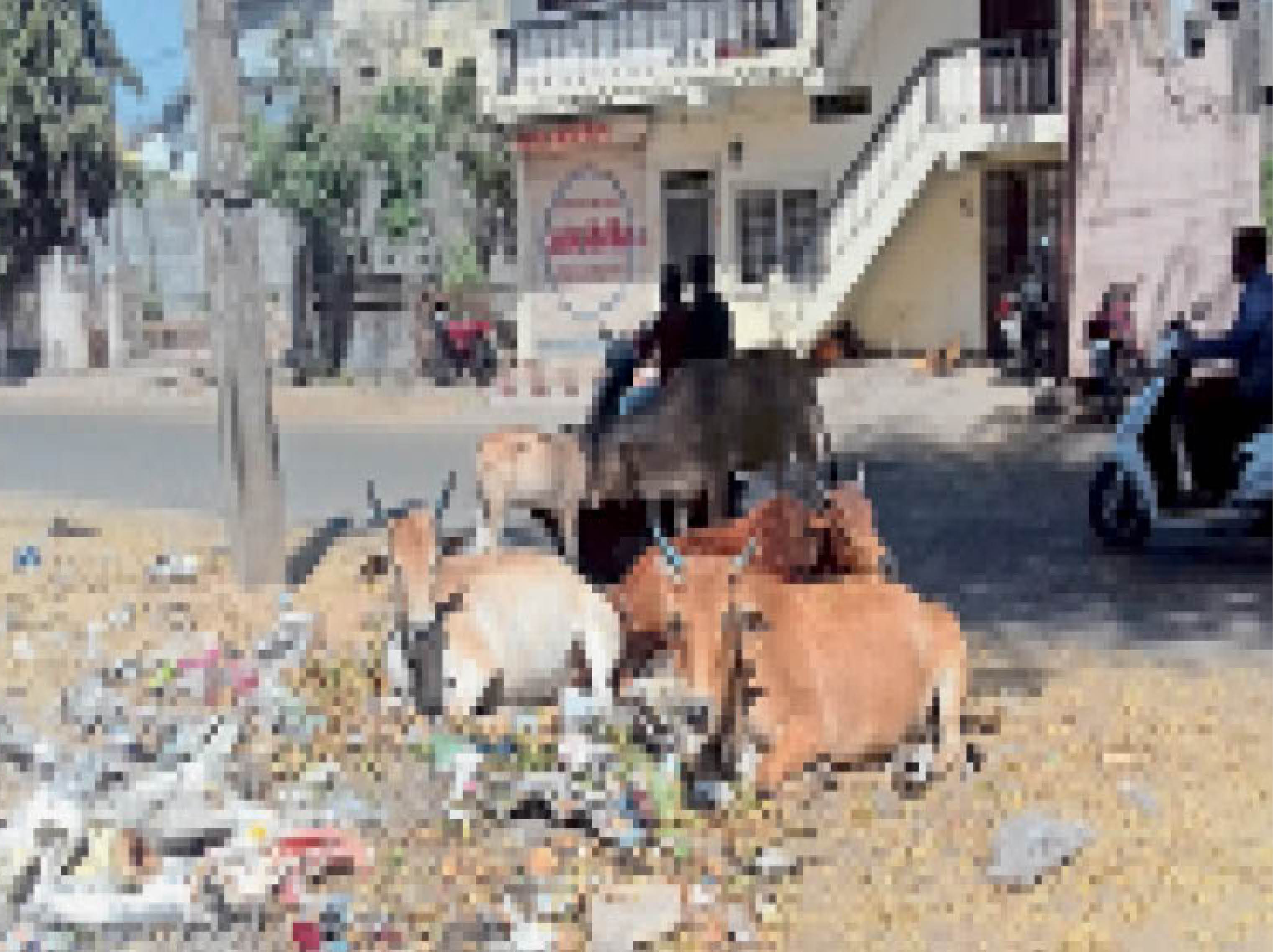 रोड पर मवेशी: नपा करेगा पशु मालिकों की पहचान;  आवारा पशुओं से यातायात व्यवस्था हाए रही है