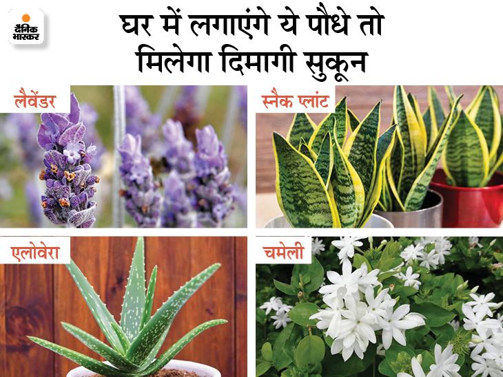 घर में लैवेंडर, स्नैक प्लांट और चमेली का पौधा लगाएं, इनकी खुशबू दिमागी तनाव घटाकर नींद की समस्या दूर करती है लाइफ & साइंस,Happy Life - Dainik Bhaskar
