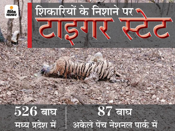 पेंच नेशनल पार्क में शिकारी एक बाघ के चारों पंजे काट ले गए, खाल भी उतारी; सिवनी में दूसरे बाघ की मौत का कारण स्पष्ट नहीं मध्य प्रदेश,Madhya Pradesh - Dainik Bhaskar