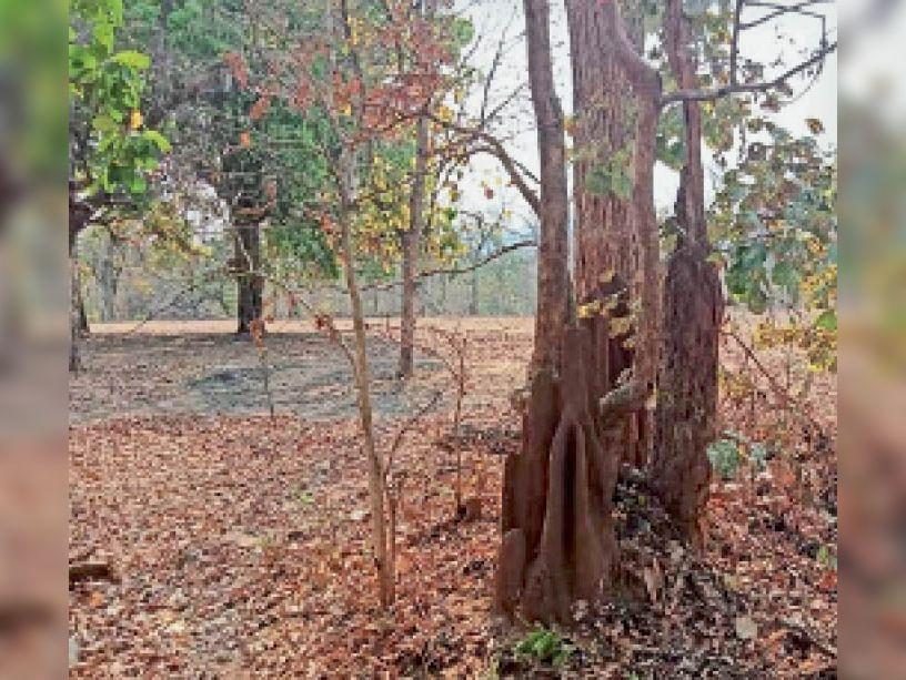ईच्छापुर मर्दापोटी के जंगलों में दीमक का प्रकोप, सूखकर नष्ट हो रहे पेड़ कांकेर,Kanker - Dainik Bhaskar