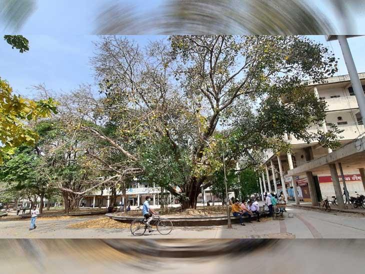 सेक्टर-17 में डीसी ऑफिस के पास लगा पुराना पेड़