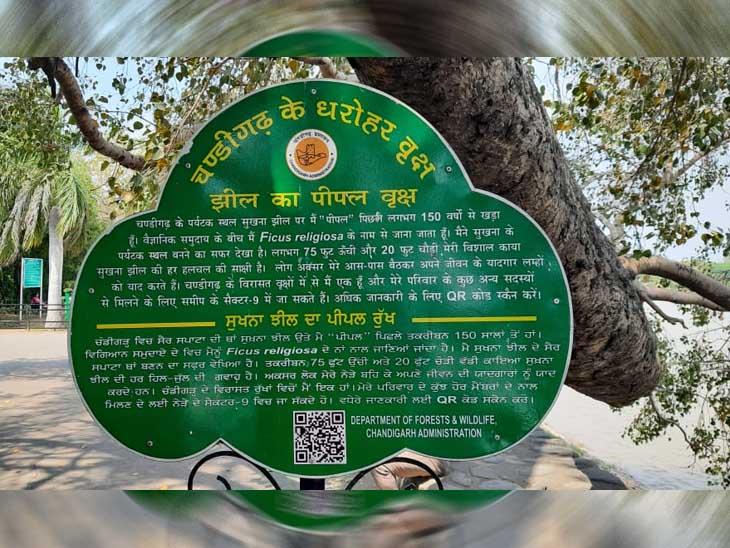 सुखना लेक किनारे 150 साल पुराना पीपल का पेड़