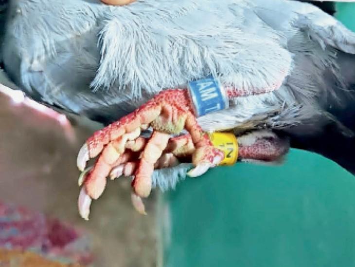 कोंडागांव में मिला संदिग्ध कबूतर; दोनों पैरों में टैग, वनकर्मी ने देखा तो पुलिस को सौंपा|कोंडागांव,Kondagaon - Dainik Bhaskar