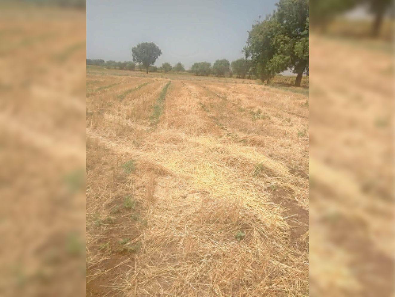 हार्वेस्टर से गेहूं की कटाई, नहीं निकला भूसा, इंदौर से 300 रु. ज्यादा देकर बुला रहे|महेश्वर,Maheshwar - Dainik Bhaskar