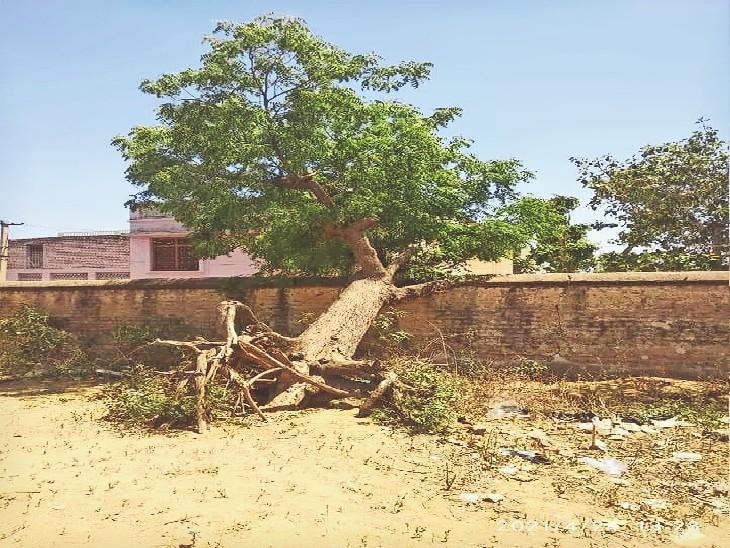 दीवार के सहारे टिका नीम का पेड़, जो सूख गया था। अब वापस कौंपले आ गई। - Dainik Bhaskar