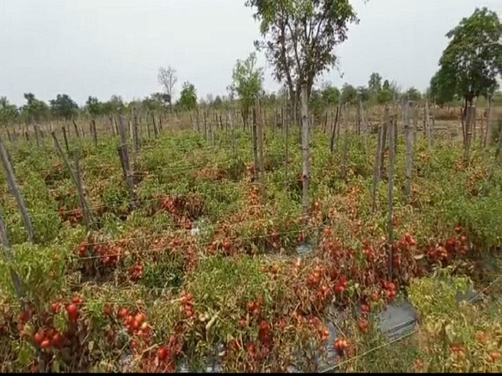 किसानों के खेतों में टमाटर की फसल तैयार है। लेकिन समय से नहीं टूटने की वजह से खेतों में ही खराब हो रही है।
