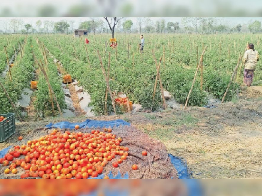 किसान खेत से टमाटर तोड़कर बाहर बेचने के लिए इकट्ठे करते हुए। - Dainik Bhaskar