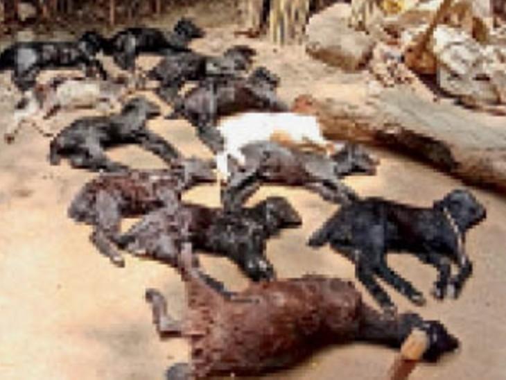 सिलावली में इंजेक्शन लगाने के बाद 12 बकरियों की मौत, डॉक्टर बोले- ये अंतर्जीव विष बीमारी है|मुरैना,Morena - Dainik Bhaskar