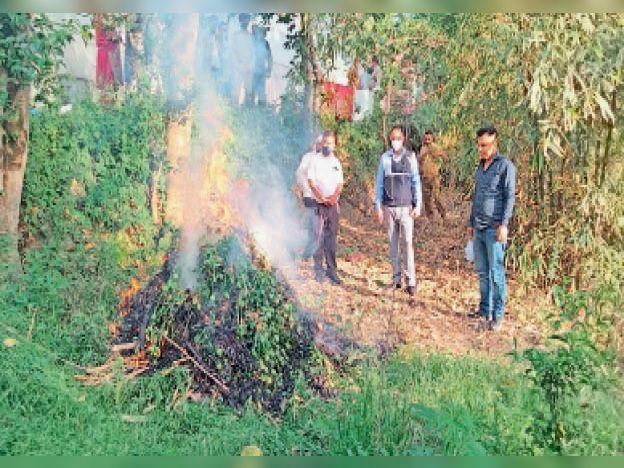 टुटू में एक व्यक्ति ने लगा रखे ते अफीम के 554 पाैधे, पुलिस ने माैके पर ही नष्ट किए|शिमला,Shimla - Dainik Bhaskar