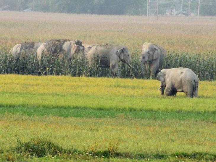हाथियों का झुंड हर दिन मक्का और गरमा धान की फसल को चरता है और कुचलता है, जिससें किसान  परेशान हैं। - Dainik Bhaskar