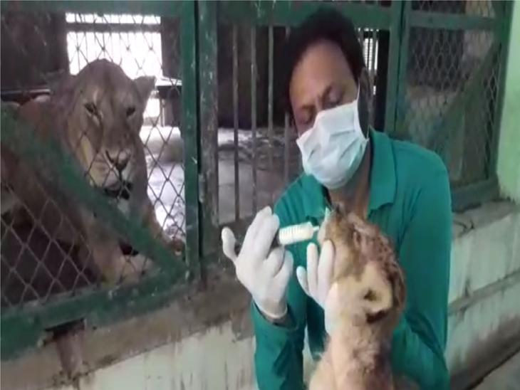 हैदराबाद में लक्षण मिलने के बाद इंदौर में बाघ और शेरों को उबला हुआ मीट, शावकों को अलग से दवा के साथ बकरी का दूध भी|इंदौर,Indore - Dainik Bhaskar