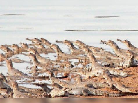 एक वर्ष में घड़ियाल की संख्या बढ़कर 54 हुई, 9 प्रजाति के कछुए मिले|सवाई माधोपुर,Sawai Madhopur - Dainik Bhaskar