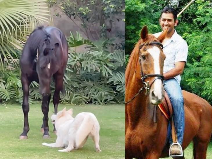 साक्षी ने फार्महाउस में आए घोड़े का वीडियो शेयर किया, लिखा- आपको परिवार में शामिल करके खुशी हुई|रांची,Ranchi - Dainik Bhaskar