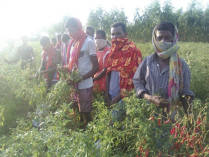 दक्षिण बस्तर के सुकमा, बीजापुर और दंतेवाड़ा जिलों के करीब 40 हजार से ज्यादा ग्रामीण मजदूरी के लिए मिर्ची तोड़ने आंध्र प्रदेश जाते हैं।