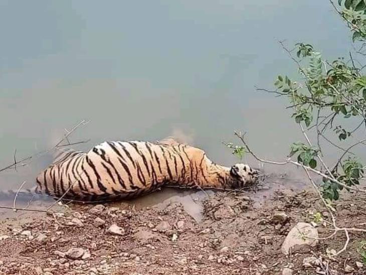 बालाघाट में बाघ की मौत का कारण प्रारंभिक जांच में सिर में चोट होना पाया गया; पोस्टमार्टम के बाद किया गया अंतिम संस्कार|जबलपुर,Jabalpur - Dainik Bhaskar