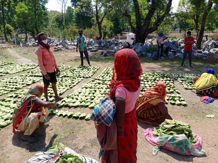 खराब मौसम की वजह से GPM जिले में तीन दिन की देरी से शुरू हुआ तेंदू पत्तों का संग्रहण, बस्तर के जिलों में नकद भुगतान का आदेश जारी छत्तीसगढ़,Chhattisgarh - Dainik Bhaskar