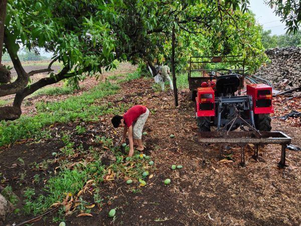 तालाला में आम के कई बगीचे तहस-नहस हो गए।