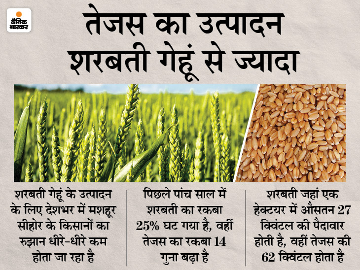 5 साल में 25% घट गई सीहोर के शरबती गेहूँ की खेेती, अब 'तेजस' किसानों की पसंद बिजनेस,Business - Dainik Bhaskar