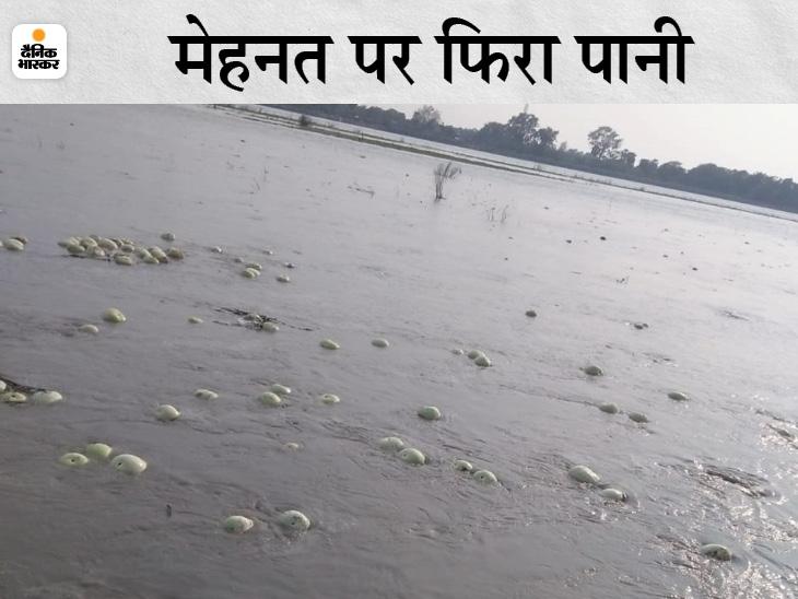 गंडक में पानी बढ़ने से लाखों की तरबूज की खेती बर्बाद। - Dainik Bhaskar