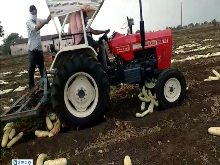 इंदौर में मंडी तक नहीं पहुंची सब्जियां, किसानों ने लौकी की खड़ी फसल को जोत दिया इंदौर,Indore - Dainik Bhaskar