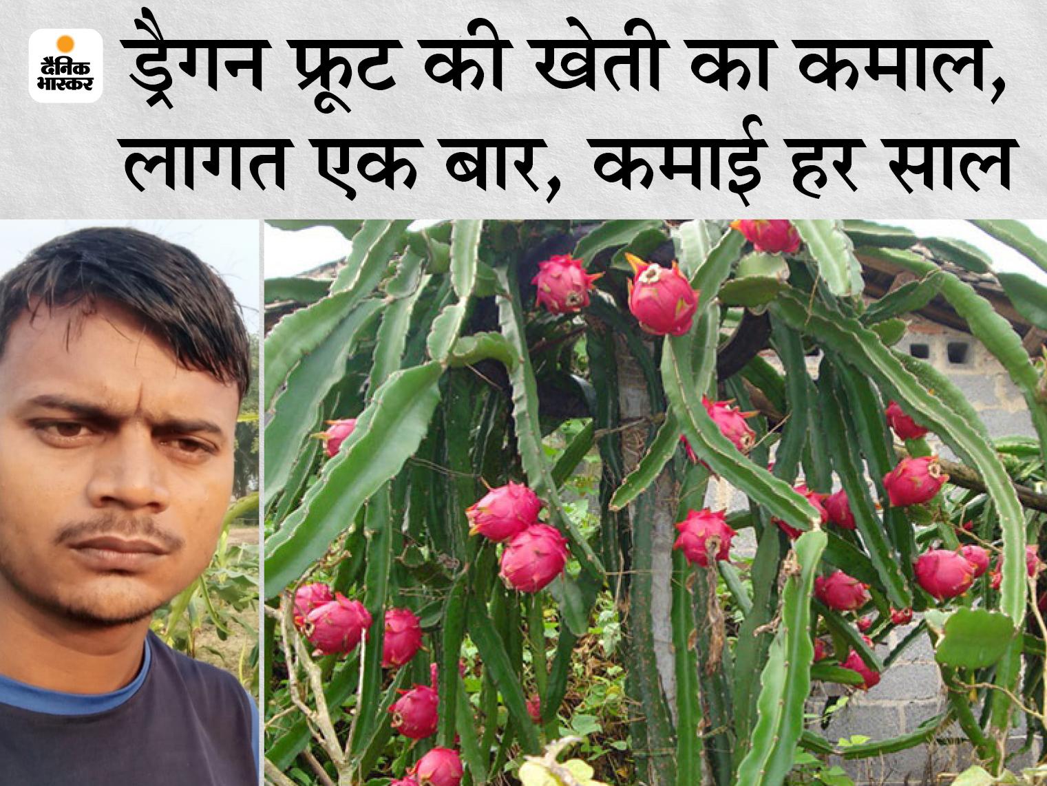 UP के रविंद्र ने 5 साल पहले आधा एकड़ से भी कम जमीन पर ड्रैगन फ्रूट की खेती शुरू की, अब एक सीजन में 4 लाख कमा रहे मुनाफा|DB ओरिजिनल,DB Original - Dainik Bhaskar