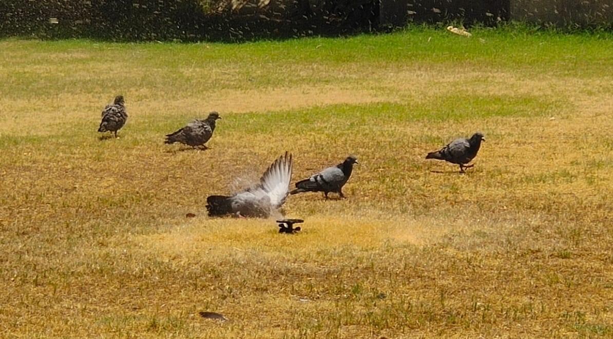 बीकानेर की गर्मी में एक पार्क के फव्वारे से निकलना पानी भी कबूतरों को ज्यादा राहत नहीं दे पा रहा। - Dainik Bhaskar