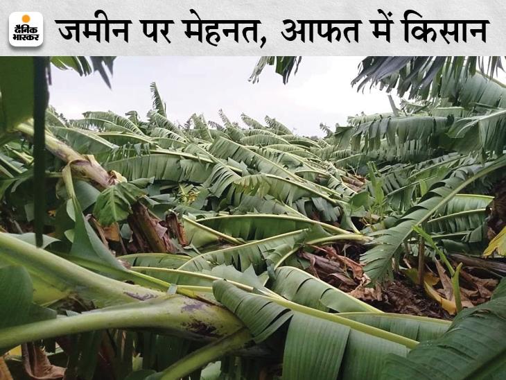 बुरहानपुर में तेज आंधी से खेत में ही बिछ गए केले के पौधे।