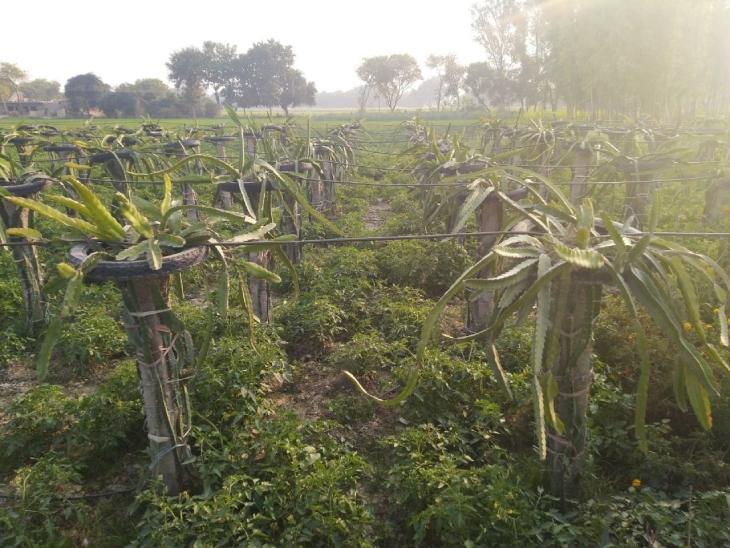 रविंद्र ने अभी ड्रैगन फ्रूट के 440 प्लांट लगाए हैं। इन पौधों को लगाने के लिए सीमेंट के खंभों की जरूरत होती है, जैसा कि फोटो में दिख रहा है।