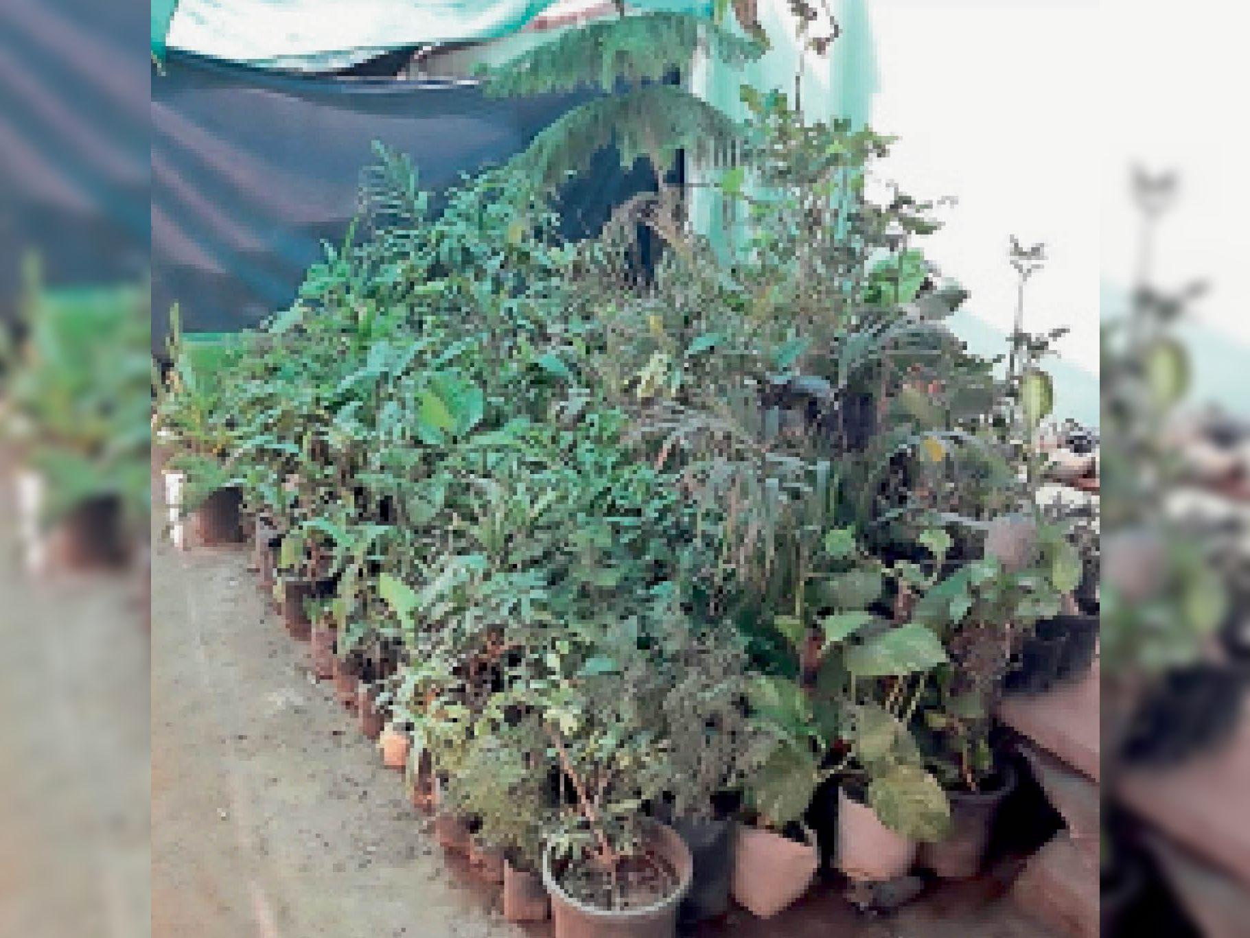 कोरोना के कारण 24 घंटे ऑक्सीजन देने वाले पौधे लगाने लगे, आंध्रप्रदेश, कर्नाटक और पश्चिम बंगाल से मंगवा रहे भीलवाड़ा,Bhilwara - Dainik Bhaskar
