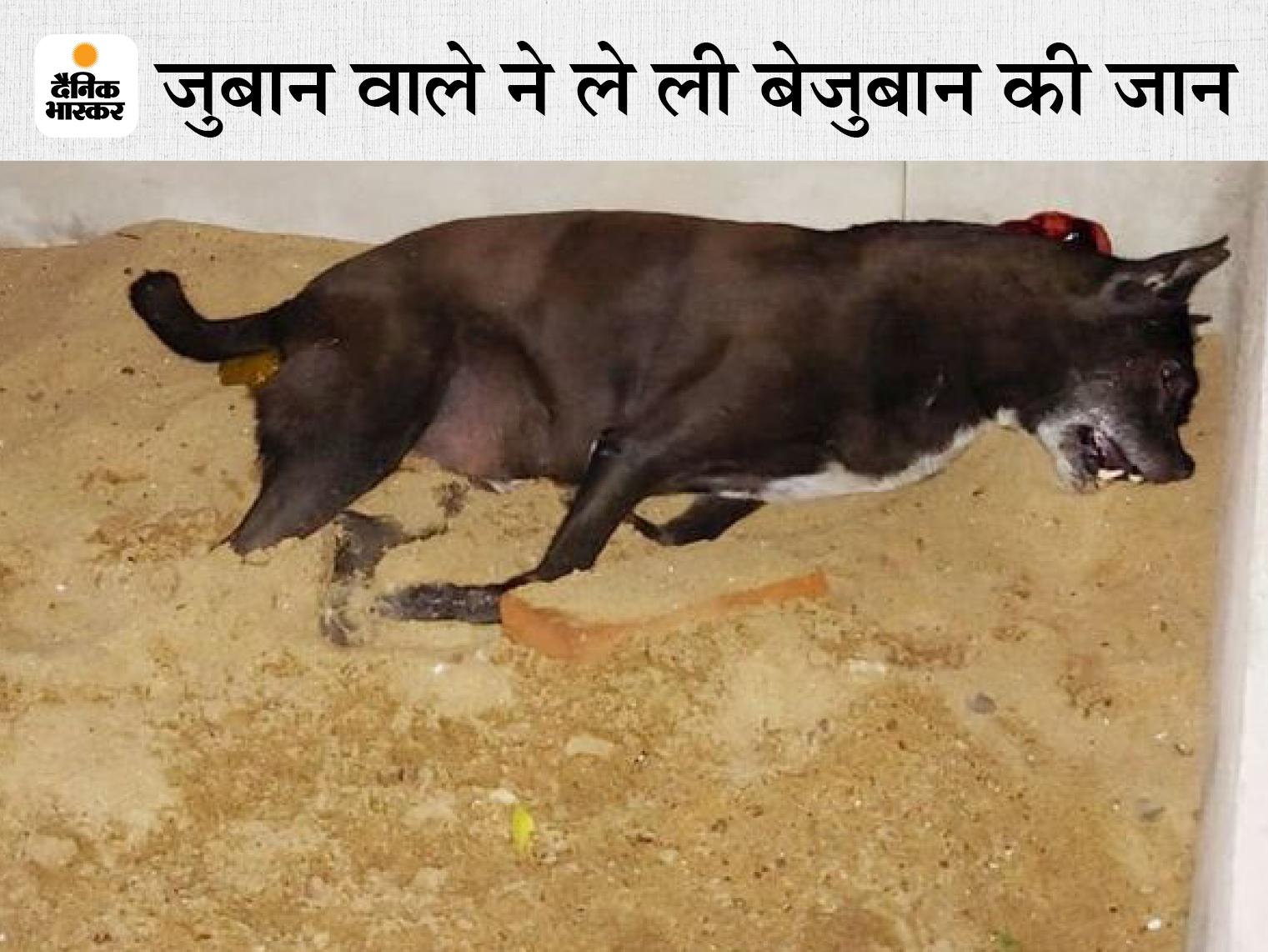 आरटीओ के बाबू ने सोते हुए कुत्ते को लाइसेंसी बंदूक से मारी गोली, पड़ोसी डॉक्टर ने थाने में की शिकायत|इंदौर,Indore - Dainik Bhaskar