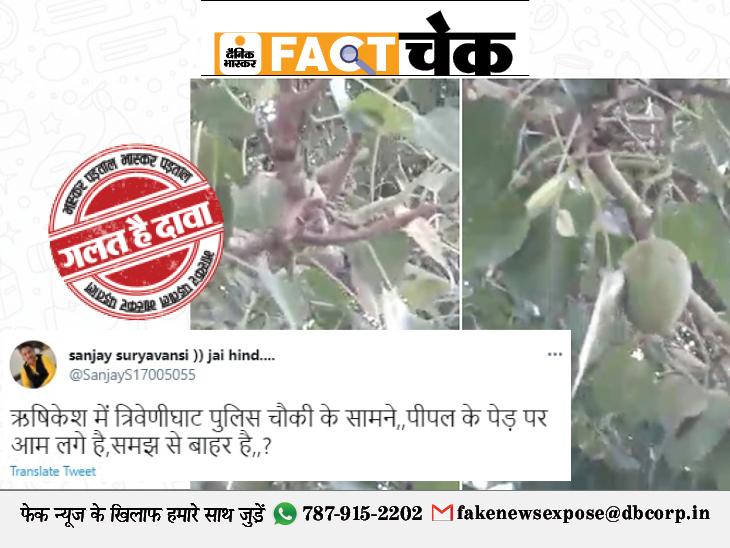 ऋषिकेश में एक पीपल के पेड़ पर लगा आम का फल, सोशल मीडिया पर वीडियो हुआ वायरल; जानिए इस वायरल वीडियो की सच्चाई|फेक न्यूज़ एक्सपोज़,Fake News Expose - Dainik Bhaskar