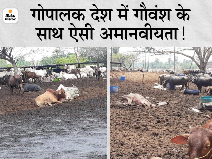 देवकुंड गौशाला में बीमार होकर प्रतिदिन मर रहे 3-4 जानवर, आधा पेट खाकर कीचड़ में पड़े रहते हैं बेजुबान|औरंगाबाद (बिहार),Aurangabad (Bihar) - Dainik Bhaskar