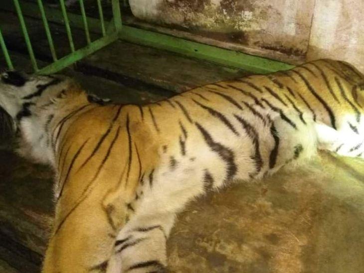 डॉक्टर ने कहा- ब्लड टेस्ट में किडनी और लीवर में इंफेक्शन मिला है, कोरोना जांच के लिए बाघ का स्वाब IVRI बरेली भेजा गया है|रांची,Ranchi - Dainik Bhaskar