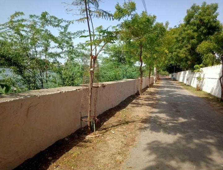 लाखोटिया उद्यान जाने वाले रास्ते पर लगे इन पेड़ों की नियमित देखभाल करती हैं यह टीम।